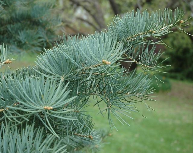 tree-concolor-fir-closeup