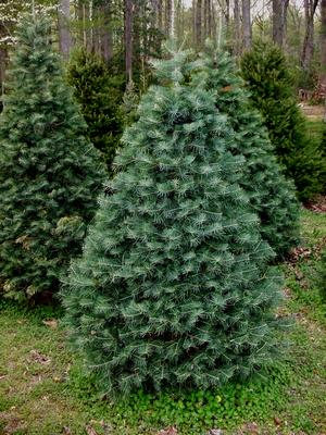 tree-concolor-fir – VanDerZee Christmas Tree Farm