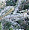 tree-fraser-fir-closeup