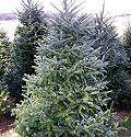 tree-fraser-fir